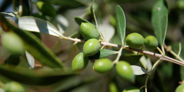 Ενημέρωση για το κλάδεμα των ελαιόδεντρων στην Αμοργό!