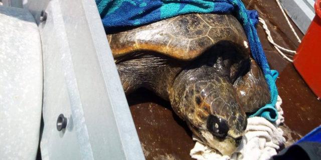 Διάσωση θαλάσσιας χελώνας καρέτα-καρέτα στην Αμοργό